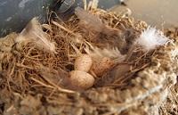 ツバメの卵 (2).jpg